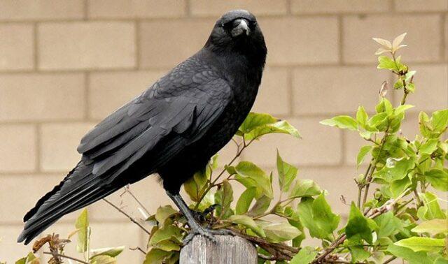 Crow कौव्वे